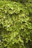 De textuur van het mos royalty-vrije stock foto's