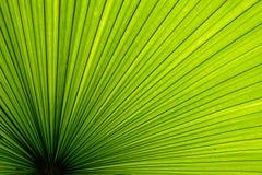 De textuur van het palmblad Stock Foto
