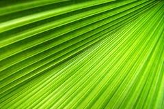 De Textuur van het palmblad Stock Afbeelding