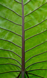 De textuur van het verlof groene caladium Stock Afbeelding