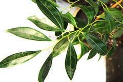 de textuur van de kaneelboom Stock Foto