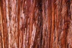 De textuur van de schors van een jonge kustcalifornische sequoia, een Sequoia sempervirens- achtergrond of een achtergrond royalty-vrije stock foto