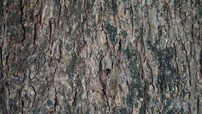 De textuur van de tamarindeboom royalty-vrije stock afbeelding
