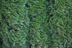 De textuur van Thuja Stock Foto