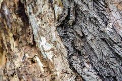 De textuurachtergrond van de boomschors Stock Afbeelding