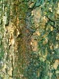 De textuurachtergrond van de boomschors Stock Foto