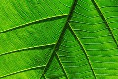 De textuurachtergrond van het aard groene blad Royalty-vrije Stock Afbeelding