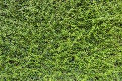 De textuurachtergrond van Streblus asper Lour Royalty-vrije Stock Afbeeldingen