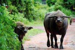 De thailändska bufflarna Arkivbilder