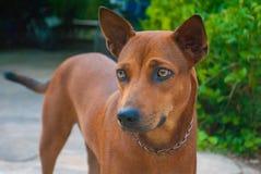 De Thaise bruine hond drukt koud emotie uit stock afbeeldingen
