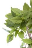 De Thaise GeïsoleerdeT Bladeren van het Basilicum Stock Foto