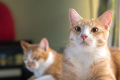 De Thaise Kat kijkt vooruit en kijkt leuk Royalty-vrije Stock Foto's