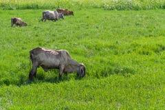 De Thaise koeien weiden Royalty-vrije Stock Foto