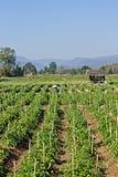 De Thaise landbouwaanplantingen van de Spaanse peper Royalty-vrije Stock Fotografie