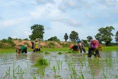 De Thaise landbouwers planten rijst op 18,2016 Juli in Wapi Pathum, Mahasarakham, Thailand Royalty-vrije Stock Afbeeldingen