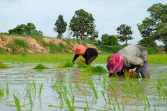 De Thaise landbouwers planten rijst op 18,2016 Juli in Wapi Pathum, Mahasarakham, Thailand Royalty-vrije Stock Afbeelding
