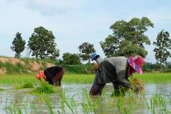 De Thaise landbouwers planten rijst op 18,2016 Juli in Wapi Pathum, Mahasarakham, Thailand Royalty-vrije Stock Foto