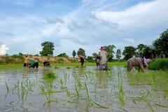 De Thaise landbouwers planten rijst op 18,2016 Juli in Wapi Pathum, Mahasarakham, Thailand Stock Foto's