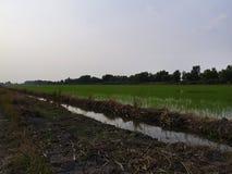 de Thaise rijst van hommali in landbouwbedrijf Royalty-vrije Stock Afbeelding