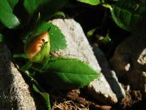 De thee nam in rotsachtige tuin toe Stock Foto