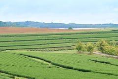 De theeaanplantingen worden gevestigd op hoge grond Het weer is goed voor de groei Deze theeaanplanting wordt gevestigd Stock Fotografie