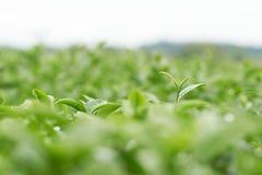 De theebladen groeien in het midden van de theeaanplanting de nieuwe spruiten zijn zachte spruiten Het water is een gezonde voeds Stock Foto's