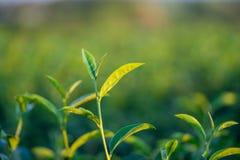 De theebladen groeien in het midden van de theeaanplanting de nieuwe spruiten zijn zachte spruiten Het water is een gezonde voeds royalty-vrije stock foto's