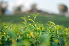 De theebladen groeien in het midden van de theeaanplanting de nieuwe spruiten zijn zachte spruiten Het water is een gezonde voeds stock foto