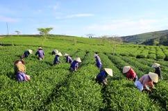 De theeplukker van de menigte Vietnamese landbouwer op aanplanting Stock Foto