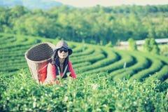 De theevrouwen die van Azië theebladen in aanplanting plukken Stock Fotografie