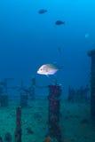 De thonine poissons trevally, l'Océan Indien, sous-marin image libre de droits