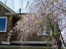 De Thornhillkers komt boom 2017 tot bloei Stock Afbeelding