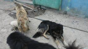De Tibetaanse Mastiff of Canis-de hondslaap van wolfszweerfamiliaris ontspant op vloer in het dorp van Leh Ladakh in Jammu en Kas stock footage