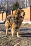 De Tibetaanse Mastiff van het hondras Stock Afbeeldingen