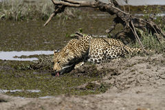 De Tijd van de luipaarddrank Stock Foto's