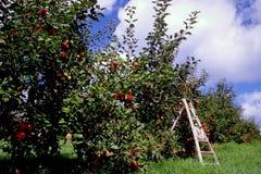 De tijd van de oogst bij de appelboomgaard Stock Afbeeldingen