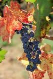 De tijd van de oogst in de wijngaard stock fotografie