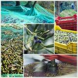 De tijd van de oogst in olijftuin Royalty-vrije Stock Fotografie