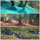 De tijd van de oogst in olijftuin Royalty-vrije Stock Afbeeldingen
