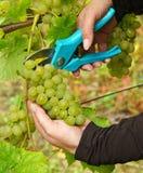 De tijd van de oogst in wijngaard Stock Foto