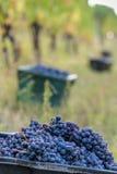 De tijd van de rode Druivenoogst in een mooie wijnmakerij in Noord-Italië Stock Foto