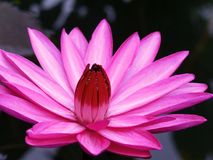 De tijd van lotusbloem te bloeien Royalty-vrije Stock Afbeelding