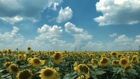De tijdspanne van de zonnebloementijd stock footage