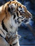 De tijger Royalty-vrije Stock Fotografie