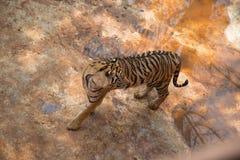 De tijger Stock Foto's