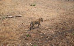 De tijger Stock Foto