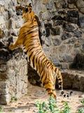 De tijger bevindt zich op zijn achterste benen Royalty-vrije Stock Afbeelding