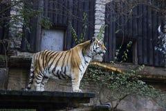 De tijger is bij de rand van het platform en is droevig voor vrijheid royalty-vrije stock afbeeldingen