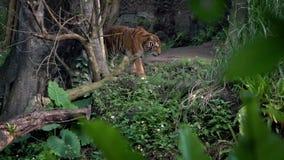 De tijger die van Bengalen in bos tussen bomen lopen Aziatische Panthera Tigris Tigris stock video