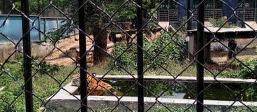 De tijger is in gevangenis stock foto